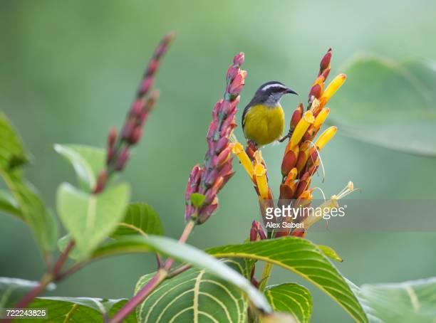 'A bananaquit, Coereba flaveola, rest on a flower in the Atlantic rainforest.'