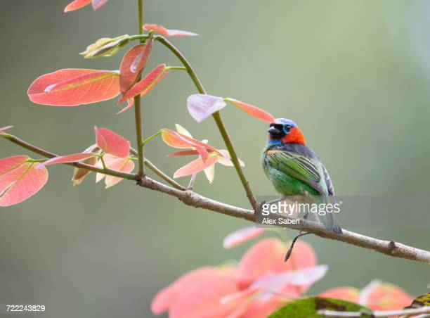 'A red-necked tanager, Tangara cyanocephala, sits by some colorful leaves in the Atlantic rainforest.'