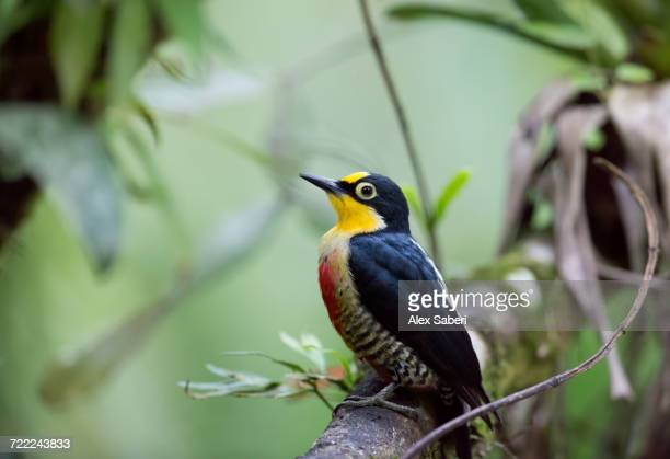 'A female yellow-fronted woodpecker, Melanerpes flavifrons, in the Atlantic rainforest.'