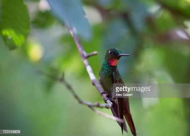 'A Brazilian ruby hummingbird, Clytolaema rubricauda, in the Atlantic rainforest.'