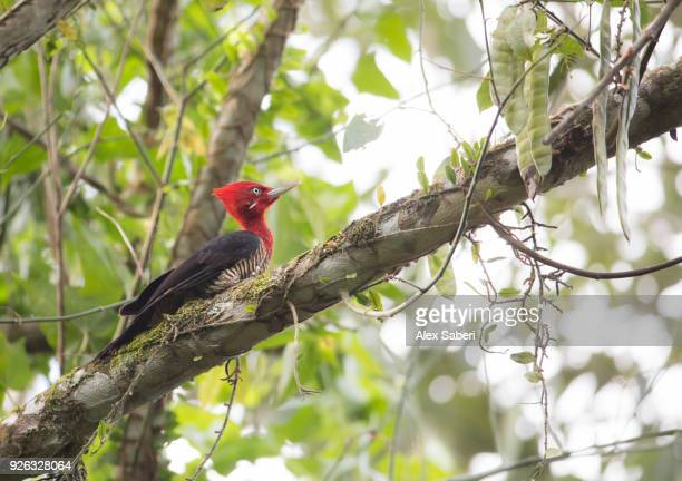 A robust woodpecker perches in a tree in the Atlantic rainforest.