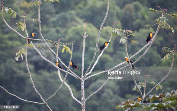 Seven channel-billed toucans, Ramphastos vitellinus, perch in a trumpet tree, Cecropia peltata in the Atlantic rainforest.