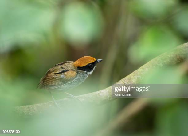 A black-cheeked gnateater, Conopophaga melanops, perches on a branch in the Atlantic rainforest.