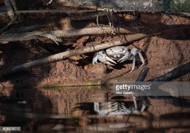 A blue land crab, Cardisoma guanhumi, rests in the sunlight in the mangroves of Rio Itamambuca.