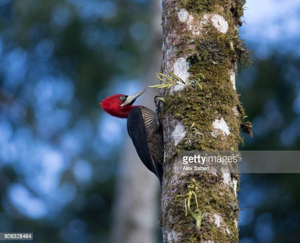 A robust woodpecker in a tree in the Atlantic rainforest in Ubatuba, Brazil.