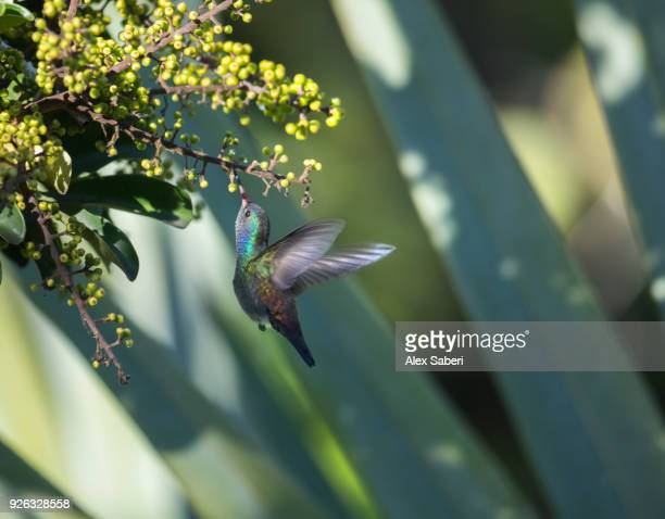 A white-chinned sapphire hummingbird, Hylocharis cyanus, feeds from a flower.
