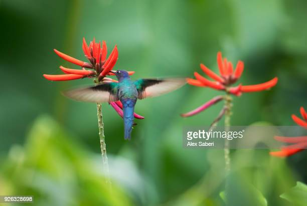A swallow-tailed hummingbird, Aphantochroa cirrochloris, feeding from a coral tree flower.