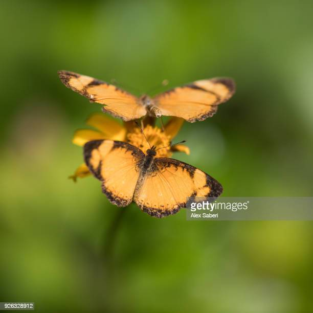 Two orange butterflies feed off a flower in Ubatuba, Brazil.