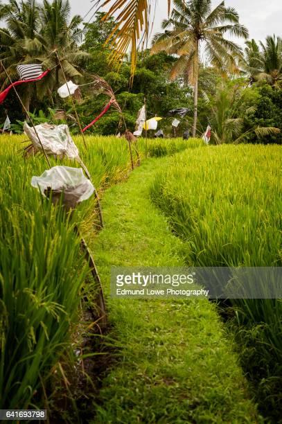 Ubud, Bali Rice Terrace
