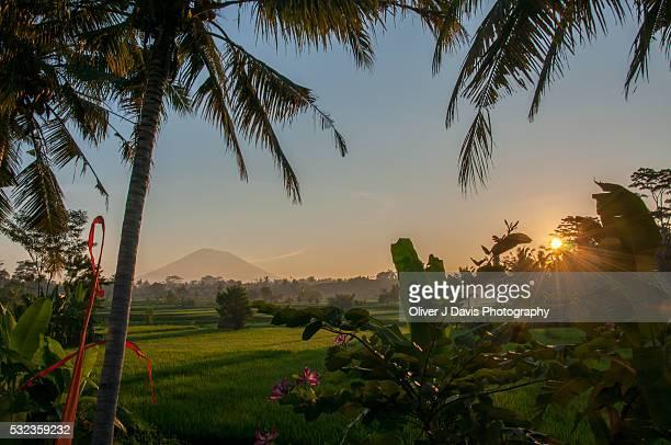Ubud Rice Field Sunrise with Palm Tree and Volcano, Bali
