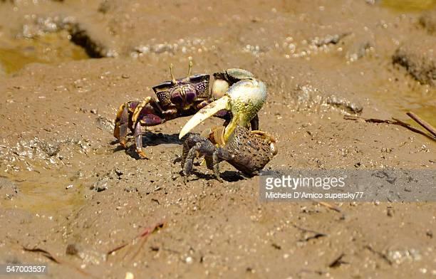Uca crab fight