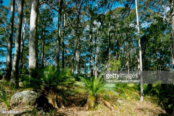 ucalyptus forest near Canberra, New South Wales, Australia