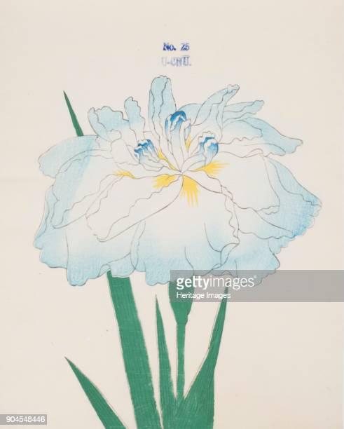 UChu no 25 From the catalogue of The Yokohama Nursery Co Ltd of Seitaro Arai which specialised in Iris kaempferi Japanese Iris all native to Japan