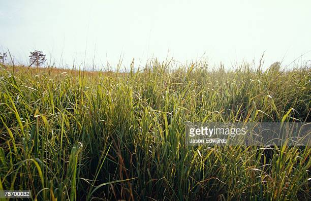 Tall fresh Elephant Grass rises out of a dry season floodplain.