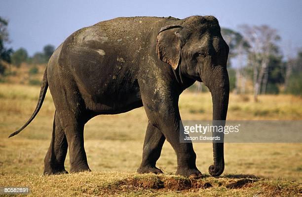 A male endangered Sri Lankan elephant patrolling his territory.