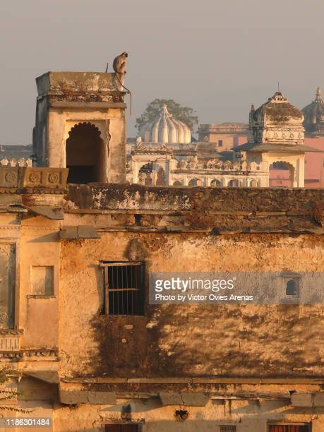 udaipur - sunrise on the roofs. silver langur monkey in udaipur, rajasthan - victor ovies fotografías e imágenes de stock