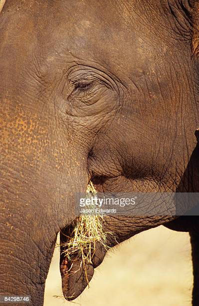 an asian elephant uses its trunk to place dry grass in it's mouth. - dry mouth stock photos and pictures