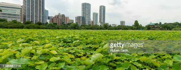 ueno park with loto plants on the water - kanto region stock pictures, royalty-free photos & images
