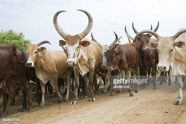 AnkoleWatusi cattle herd on a road