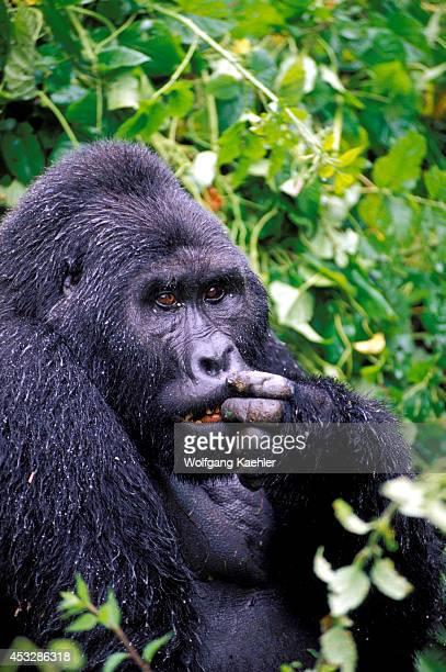 Uganda Bwindi Impenetrable Forest Mountain Gorillas Silverback Sitting In Rain