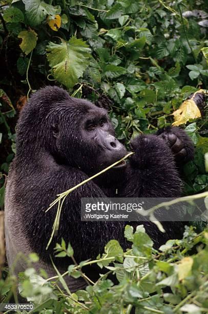 Uganda Bwindi Impenetrable Forest Mountain Gorillas Silverback Feeding