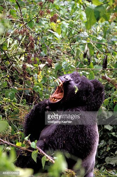 Uganda Bwindi Impenetrable Forest Mountain Gorillas Silverback Yawning