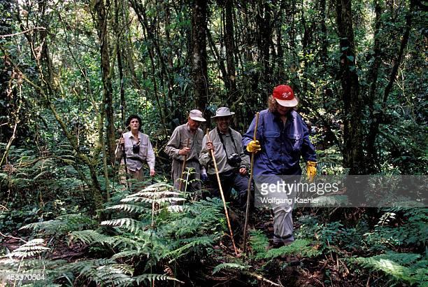 Uganda Bwindi Impenetrable Forest Tourists Gorilla Trekking Rain Forest