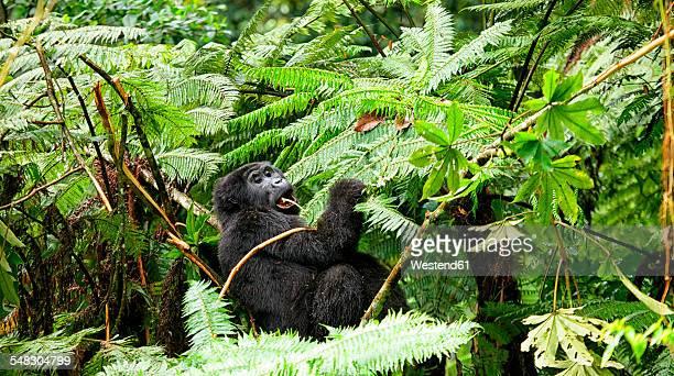 Uganda, Bwindi Impenetrable National Park, Bwindi Impenetrable Forest, mountain gorilla