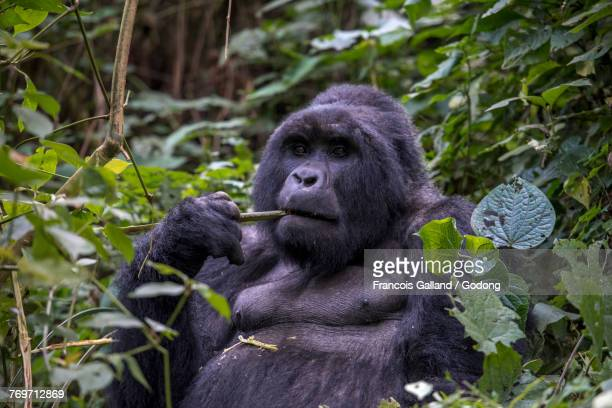 Uganda, Bwindi Impenetrable National Park, Bwindi Impenetrable Forest, mountain gorilla. (Gorila beringei beringei),