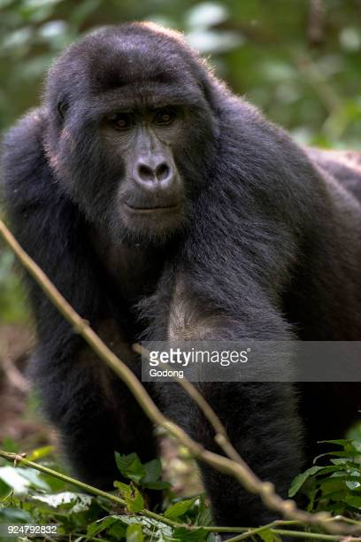 Uganda Bwindi Impenetrable National Park Bwindi Impenetrable Forest mountain gorilla