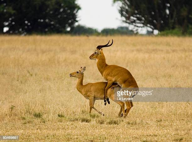 uganda kob attempting to mate - male animal stock pictures, royalty-free photos & images