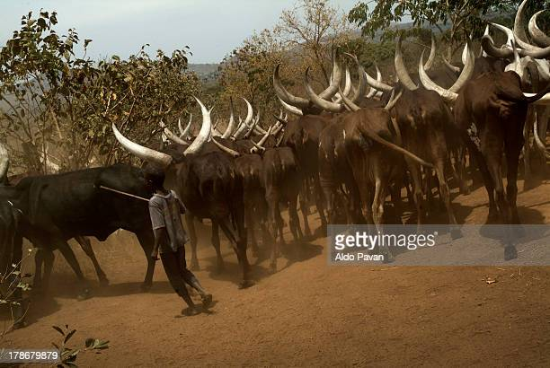 Uganda, Masindi, herd of buffalos
