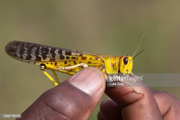 Uganda People's Defence Force soldier holds a Desert Locust on February 12 2020 in Katakwi Uganda Uganda has deployed soldiers to help combat one of...