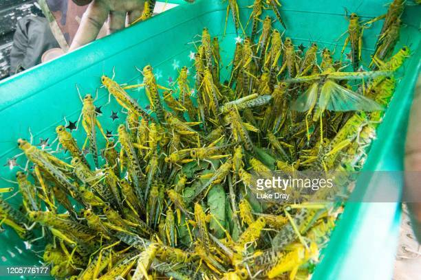 Uganda People's Defence Force soldiers open a container holding Desert Locusts they have caught on February 12 2020 in Katakwi Uganda Uganda has...