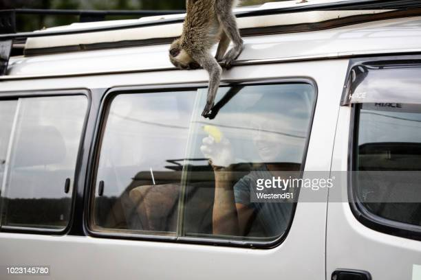 uganda, queen elisabeth national park, curious vervet monkey climing on off-road vehicle - uganda stock pictures, royalty-free photos & images