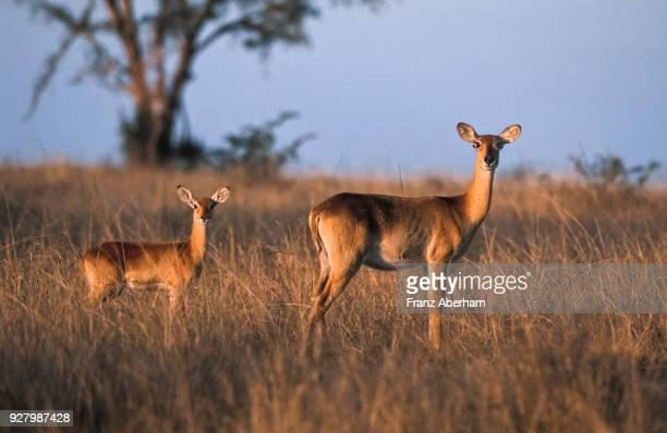 ugandan kob female with offspring, queen elizabeth national park, uganda - franz aberham stock photos and pictures