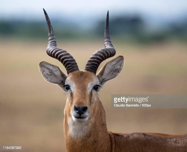 Africanos fotos de antilopes Antílopes Banco