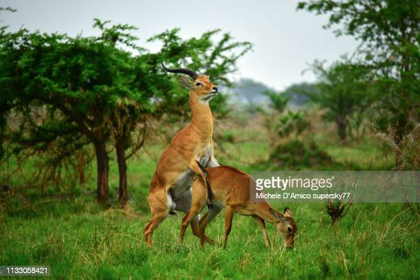 ugandan kobs mating - sex stock photos and pictures