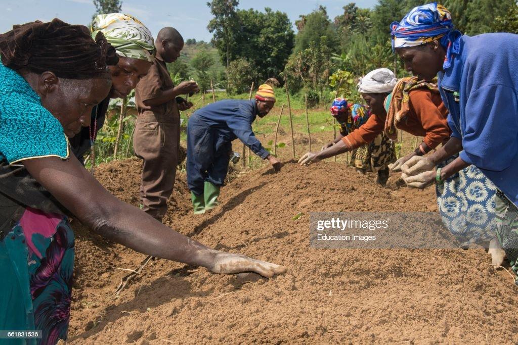 Ugandan farmers sowing seeds : News Photo