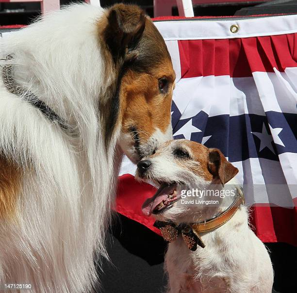 Uggie the dog from The Artist which won an Academy Award for Best Picture is visited by Lassie following his being immortalized with a hand and paw...