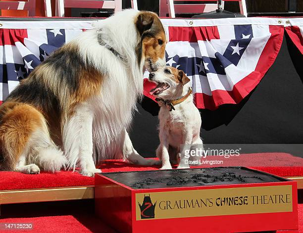 Uggie the dog from 'The Artist' which won an Academy Award for Best Picture is visited by Lassie following his being immortalized with a hand and paw...