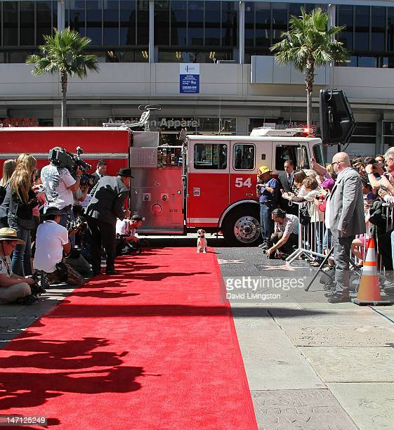 Uggie the dog from The Artist which won an Academy Award for Best Picture is immortalized with a hand and paw print ceremony at Grauman's Chinese...