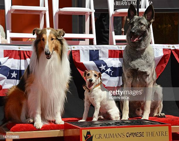 Uggie the dog who starred in the Academy Awardwinning film 'The Artist' poses with Lassie and Rin Tin Tin at his hand and paw print ceremony outside...