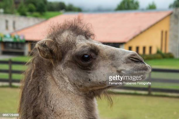 ugly camel - ugly horses stock photos and pictures