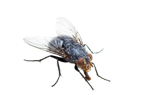 Ugly Diptera Fly Insect Isolated on White Background 931080146