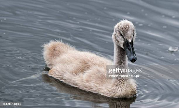 ugly duckling swimming - ugly duckling stock photos and pictures