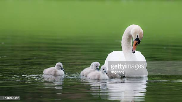 ugly ducklings - swan stock pictures, royalty-free photos & images