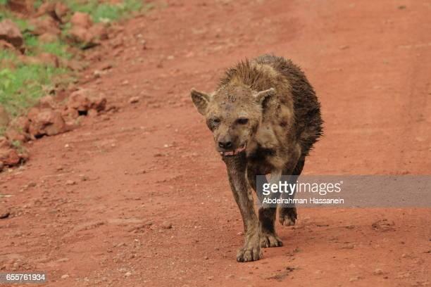 Ugly Hyena