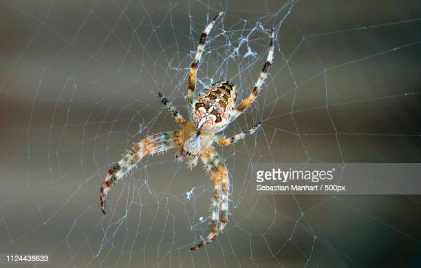 ugly spider on cobweb - ugly spiders stock photos and pictures