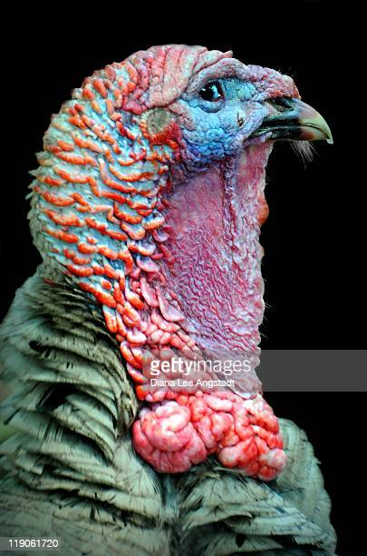 ugly turkey - ugly turkey stock photos and pictures